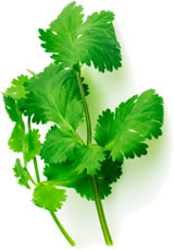 Fresh Coriander compliments many an Indian dish